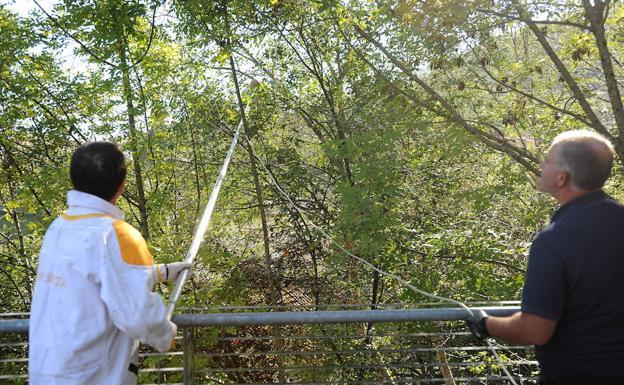 Operarios retiran un nido de avispa asiática de un árbol. /  FÉLIX MORQUECHO