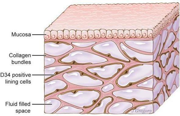 Intersticio: el nuevo órgano del cuerpo humano, recién descubierto ...