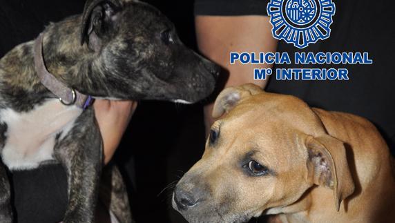 La Policía Evita La Muerte De 230 Perros Peligrosos Para Peleas El